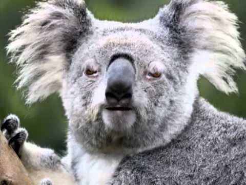 Kai Koala gauna baną 24h, išėjęs iš dažasvaidžio